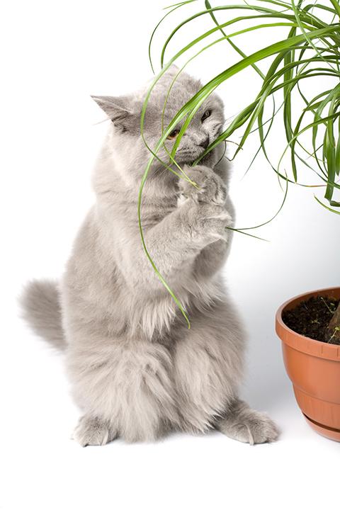 Kissalle myrkylliset kasvit ja aineet